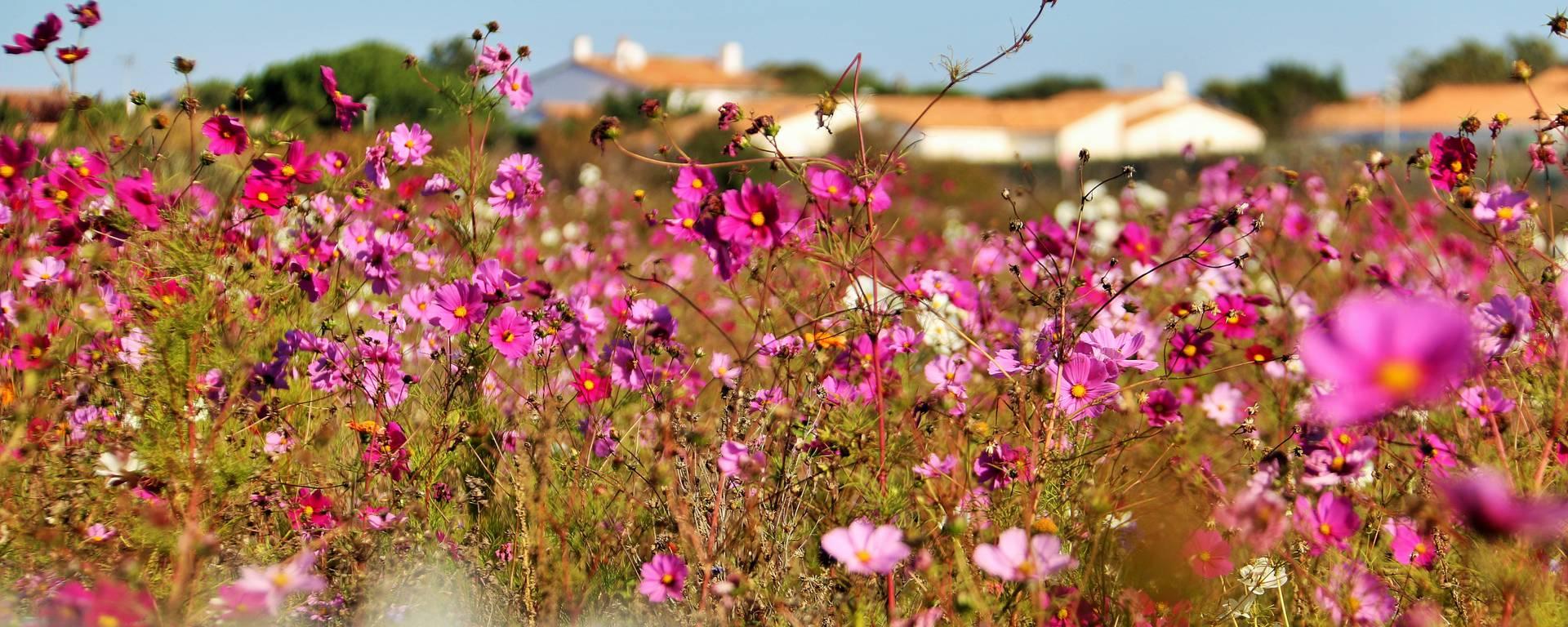 Les fleurs sauvages de l'Ile de Ré par Lesley Williamson