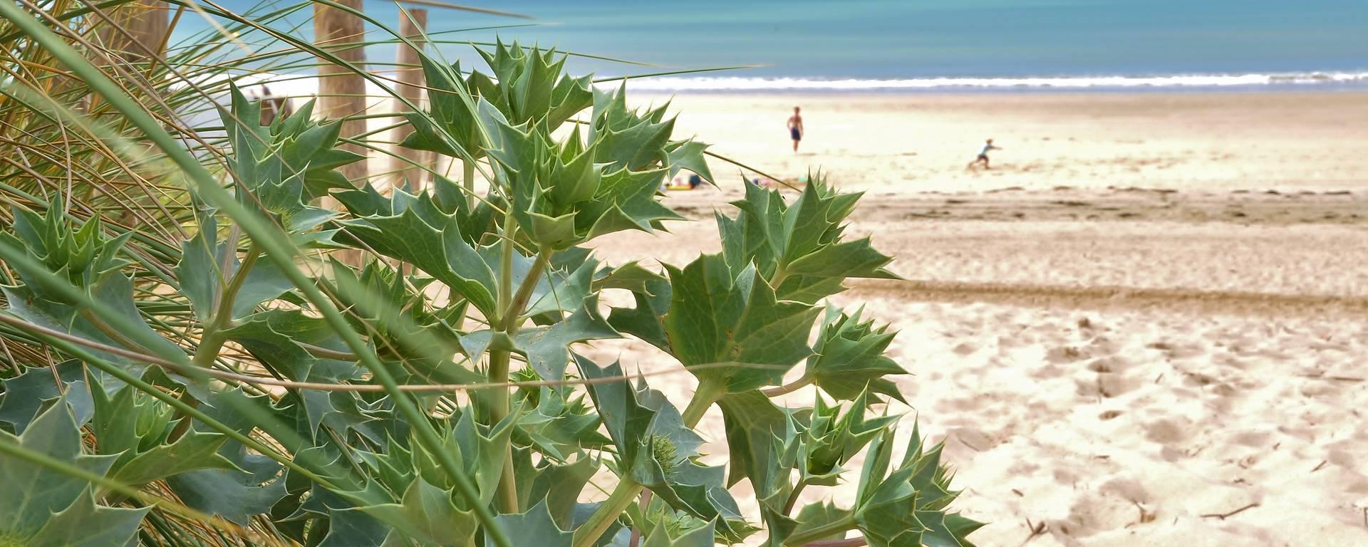 Panicaut des dunes, plante protégée photo de Bernard Collin