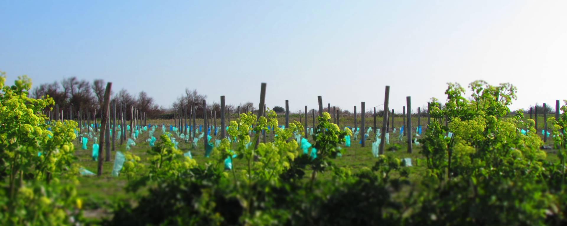 Les vignes de Saint-Clément-des-Baleines
