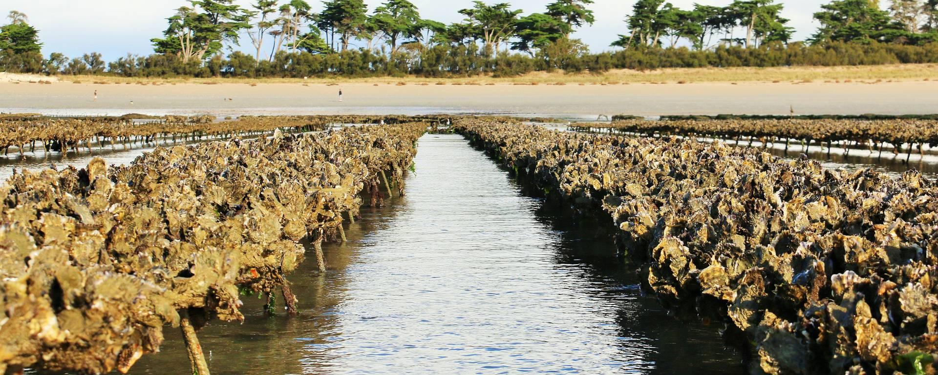 Etape 1 : La production des huîtres