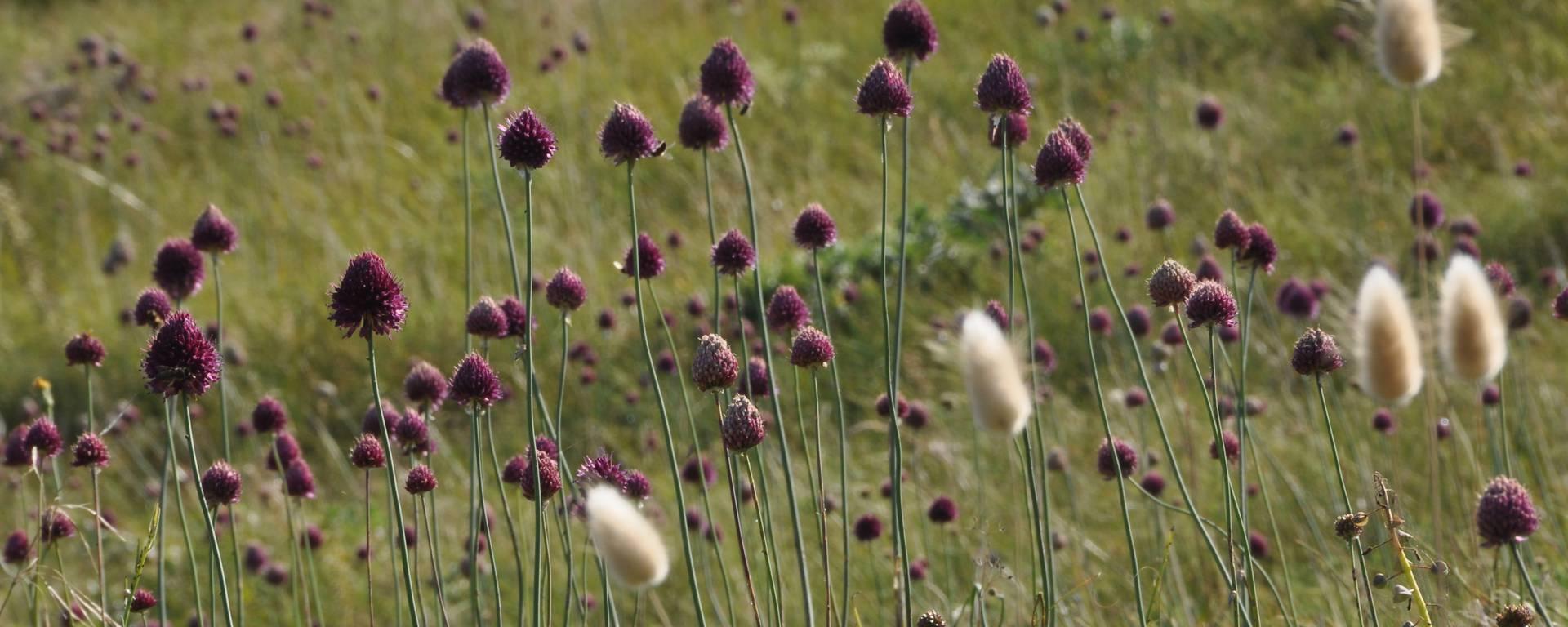 Chaton, plante des dunes par Bernard Collin