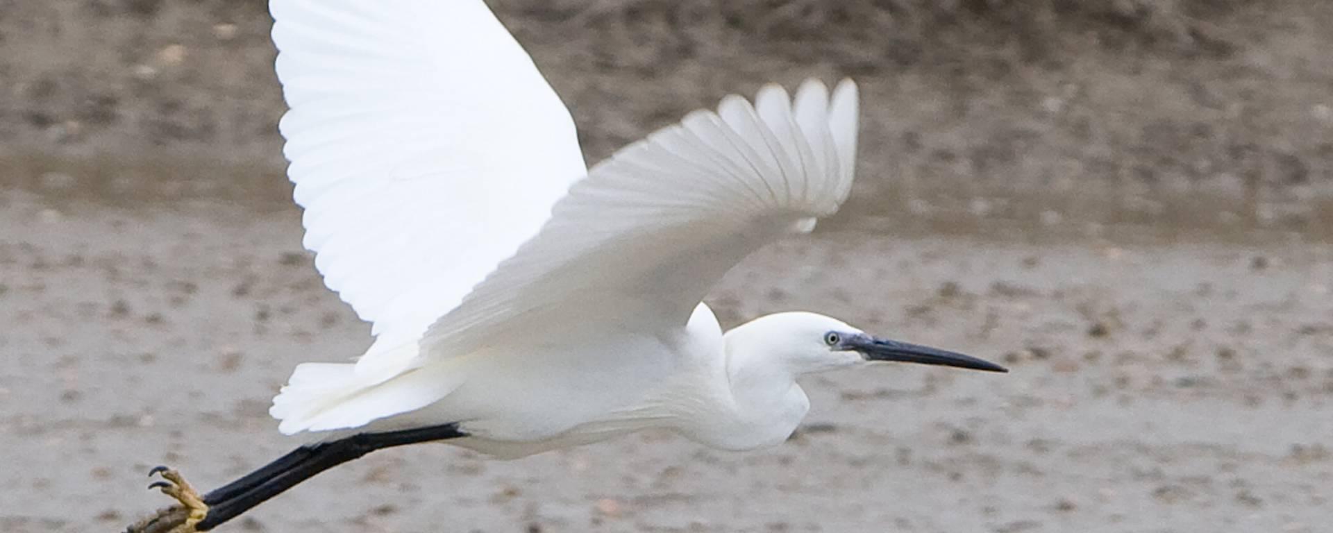 Oiseau en vol ©François Blanchard