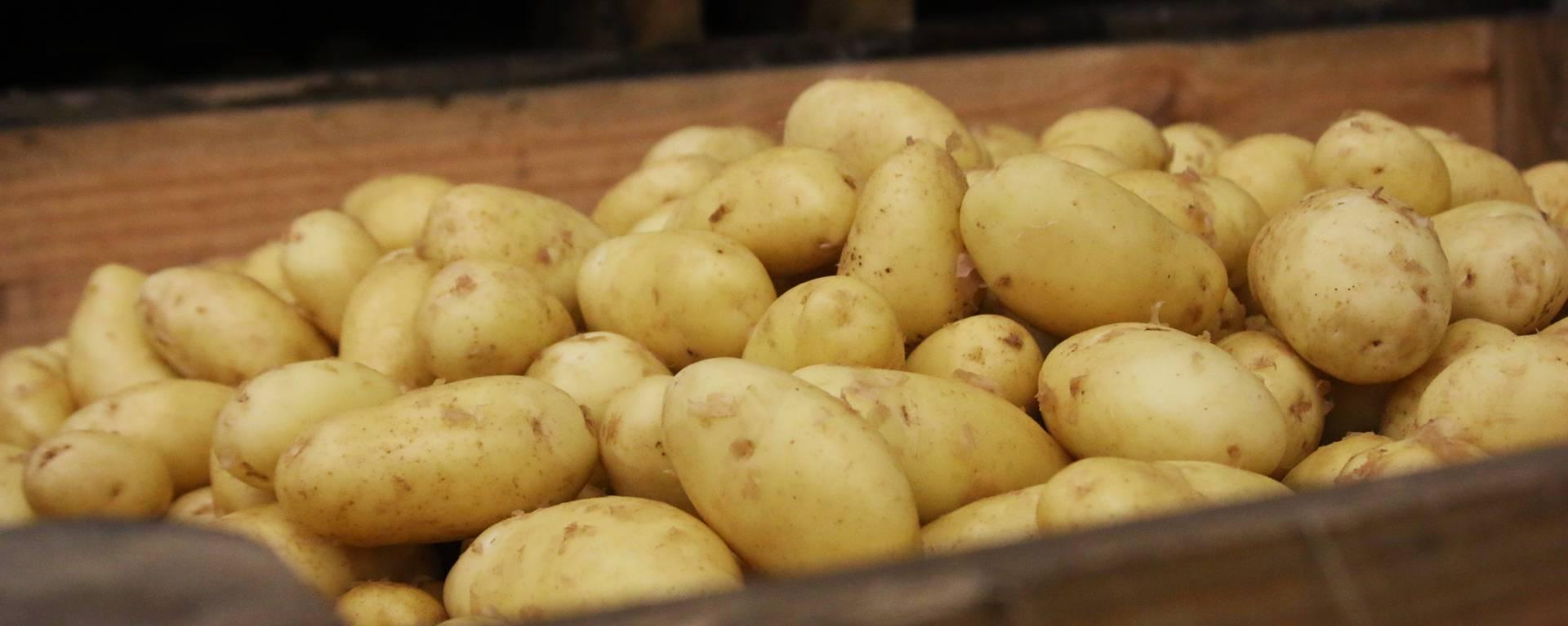 Pommes de terre de l'Île de ré