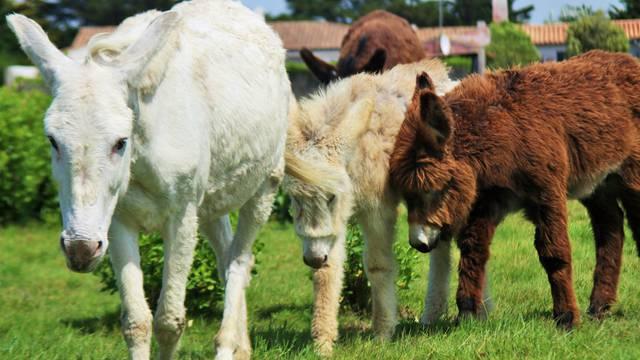 Les ânes de l'Ile de Ré